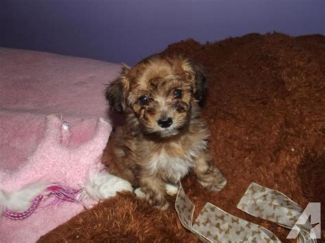 papipoo papillon poodle mix info temperament care