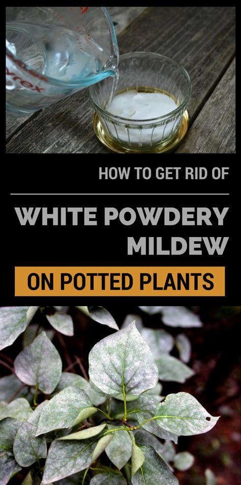 rid  white powdery mildew  potted plants