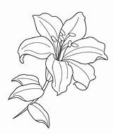 Drawing Flower Lily Coloring Line Lilies sketch template