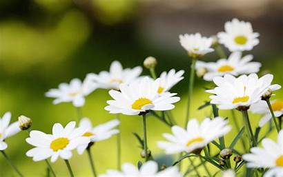Daisy Background Field Iphone 4k Cool Android