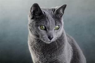 russian blue cat price russian blue cat russian blue cat pet insurance cat