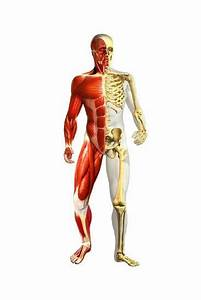 Anatomy Of Male Body With Half Skeleton And Half Muscular System Posters At Allposters Com