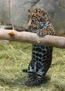 Baby Leopard Animals