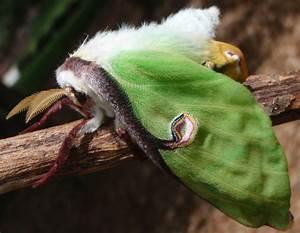 Luna Moth newly metamorphosed - What's That Bug?