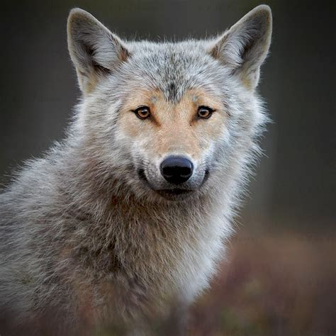 Wolf Encounter White Wolf Encounter With Heart Shaped Face Wolf In The