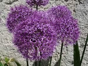 Cultiver De L Ail : ail d ornement ail d 39 aflatun allium aflatunense ~ Melissatoandfro.com Idées de Décoration
