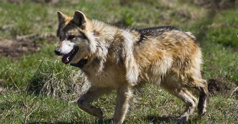 ranchers   compensated  coexisting  wolves