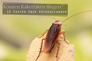 Können Kakerlaken Fliegen : k nnen kakerlaken fliegen wissenswertes ber k chenschaben ~ Watch28wear.com Haus und Dekorationen
