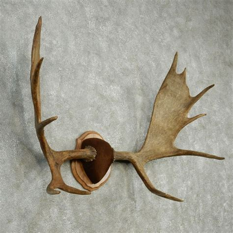 Moose Shed Antler Mounting Kit by Image Gallery Moose Horns