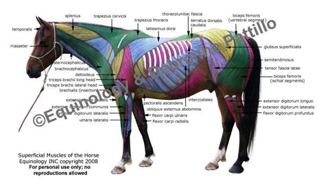 Select a muscle and it provides the exercises to workout the selected muscle. The muscles and names, what a fantastic image! | Horses ...