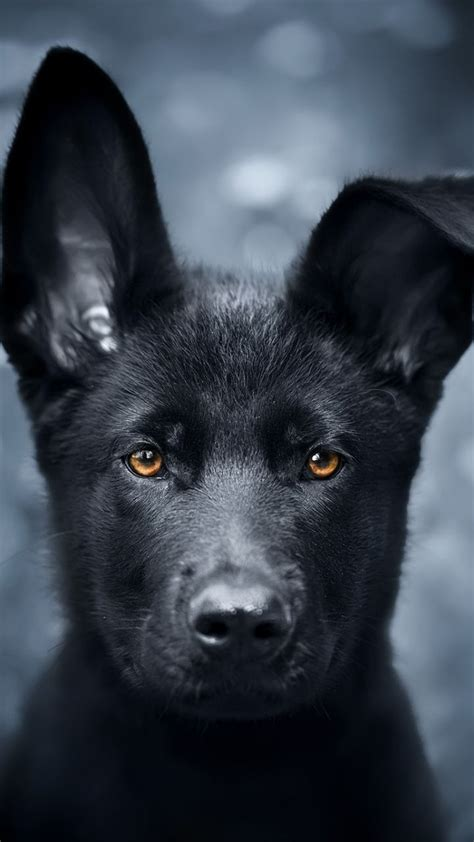 pet black puppy german shepherd  wallpaper