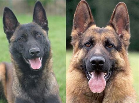 Belgian Malinois Vs German Shepherd Shedding by Belgian Malinois Vs German Shepherd Which Makes The