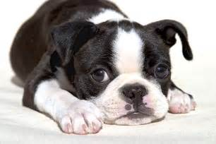 Does Border Terriers Shed by Cute Puppy Dogs Cute Boston Terrier Puppy