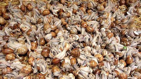 sarthe récolte d 39 escargots après 8 mm de pluie seulement
