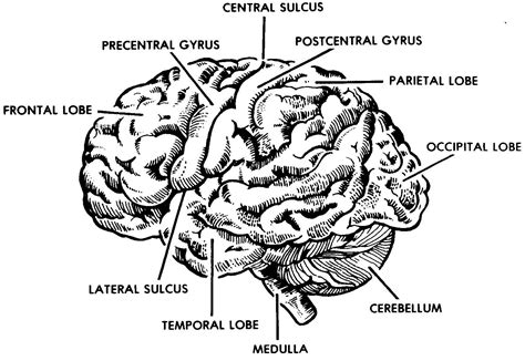 labeled brain black and white black and white human brain with labelled diagram human