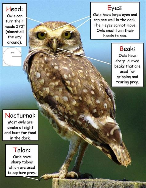 science activity owl facts inspired  owl babies owl