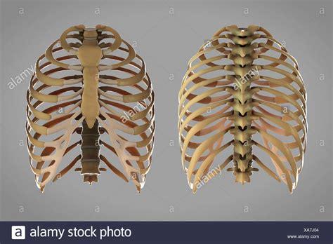 gabbia toracica vista anteriore e posteriore delle strutture scheletriche