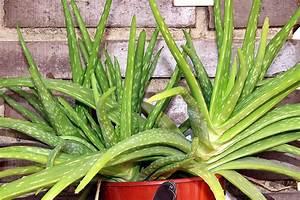 Warum Wir Aloe Vera Zu Hause Haben Sollten