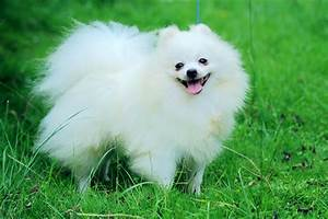 Pomeranian of white color described - Links to white ...