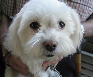 Little White Dog Breeds