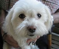 Small White Fluffy Dog Breed Name