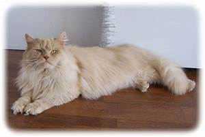 The gallery for --> Hypoallergenic Siberian Cats