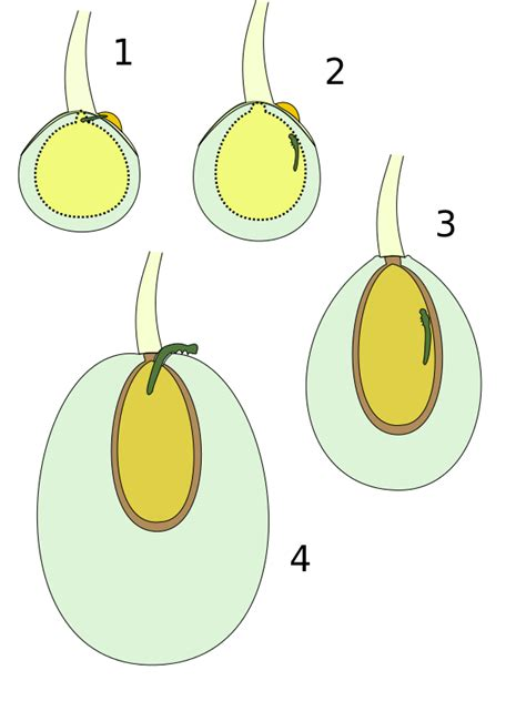 https://it.wikipedia.org/wiki/File:Prays_oleae_growing.svg