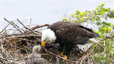 faces jail  rescuing baby eagles