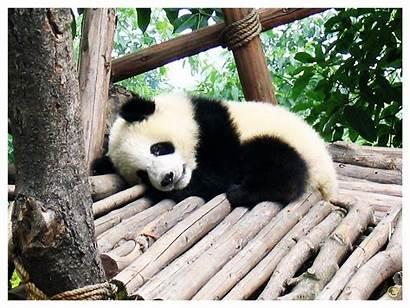 Panda Wallpapers Pandas Fanpop Deviantart Adorable Panada