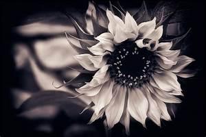 sunflower, black-and-white, background - image #486432 on ...