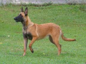 belgian malinois info temperment care puppies pictures