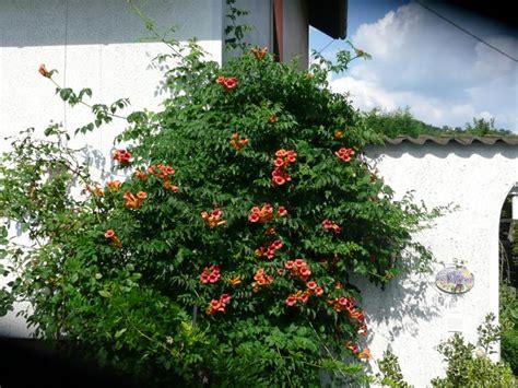 Wie Schnell Wachsen Hortensien by Wie Schnell W 228 Chst Eine Kletterhortensie Haus Garten