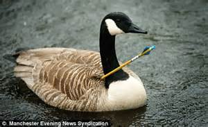 Goose Attack Injuries to People