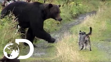 dogs  grizzly bears weird true freaky youtube
