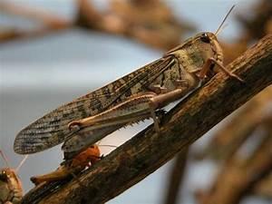 Insecte Qui Mange Le Bois : les sauterelles cet insecte comestible qui se mange ~ Farleysfitness.com Idées de Décoration