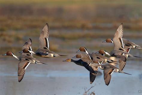 téléchargement de vidéo de chasse au canard