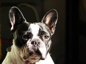 File:French Bulldog blackandwhite portrait.jpg - Wikimedia ...
