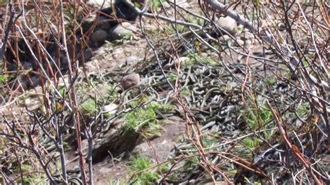 Garter Snakes Hibernaculum, Sk Canada Youtube