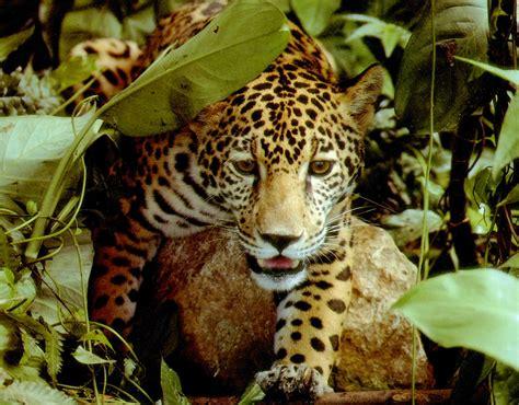 rainforest animals pictures rainforest animals list