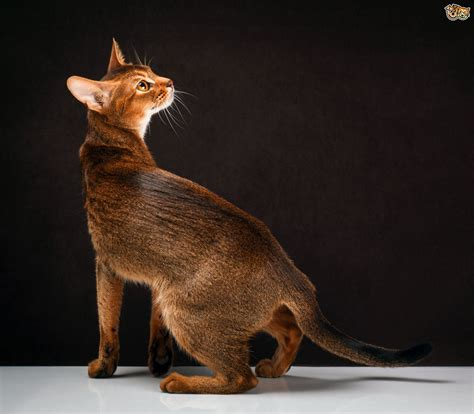 cat breeders abyssinian cat breed information buying advice photos