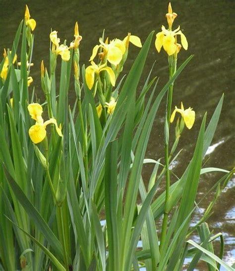 iris plant care growing marginal aquatic plants in a goldfish pond