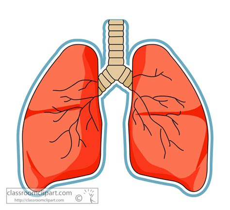 Lungs Clipart Human Lung Clipart Clipground