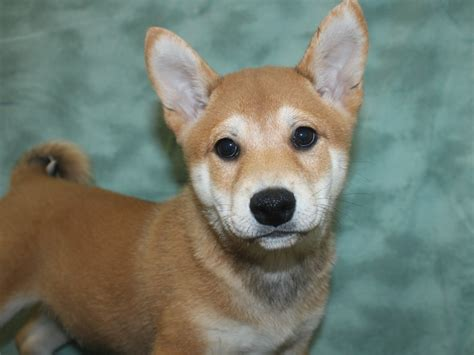 Most shiba inu have curled tails, but the dog may have a less common tail type called a sickle tail. Shiba Inu-DOG-Male-Red-2694358-Petland Rome
