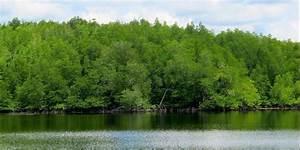 Urgensi Perlindungan Hutan Bakau