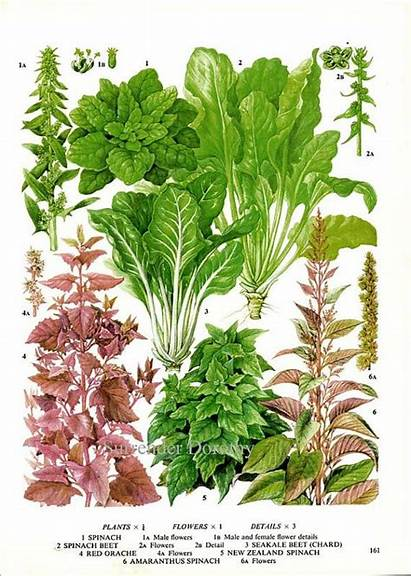 Botanical Vegetable Chard Swiss Plant Spinach Flowers