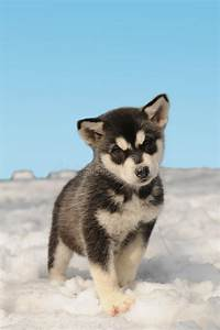 Cute Husky Puppy On The Snow Stock Image - Image of blue ...
