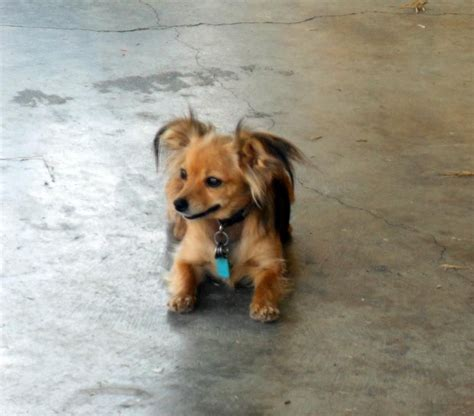 chiuaua dachshund long hair mix google search chiuaua