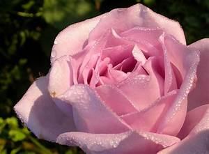 Mainzer Fastnacht Rose : mainzer fastnacht stauden rosen ~ Orissabook.com Haus und Dekorationen