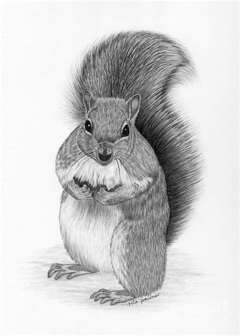 Gray Shower Curtains by Squirrel Drawing By Rita Palmer