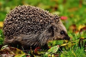 European Hedgehog Screensaver